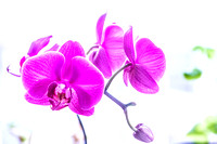 High Tone Orchid