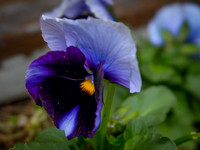 two blue pansy