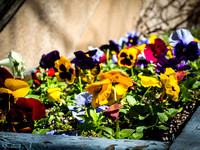 planter pansies