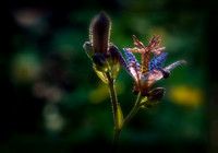 Soft Toad Lily