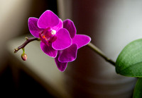 Reblooming Orchids...