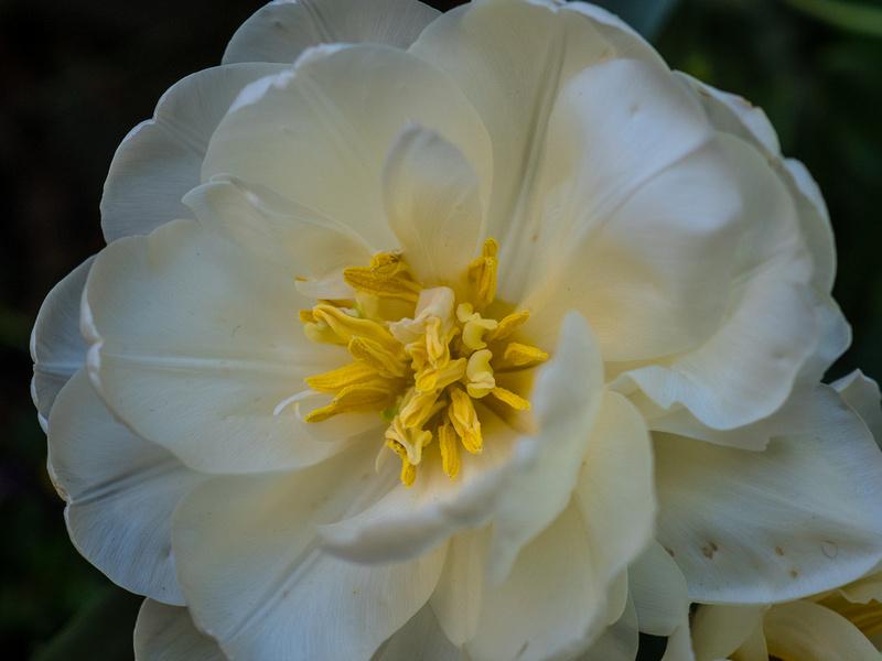white petal yellow coils
