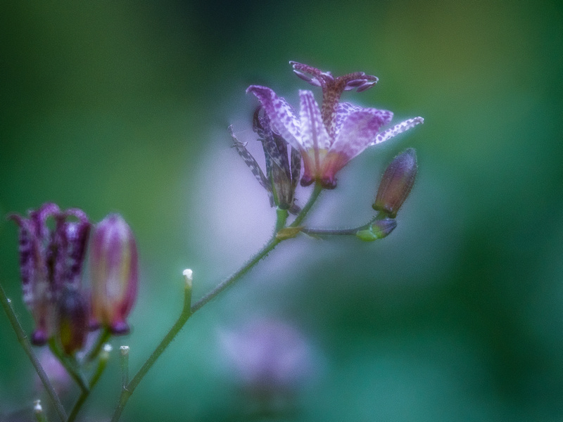 Toad Lily 1