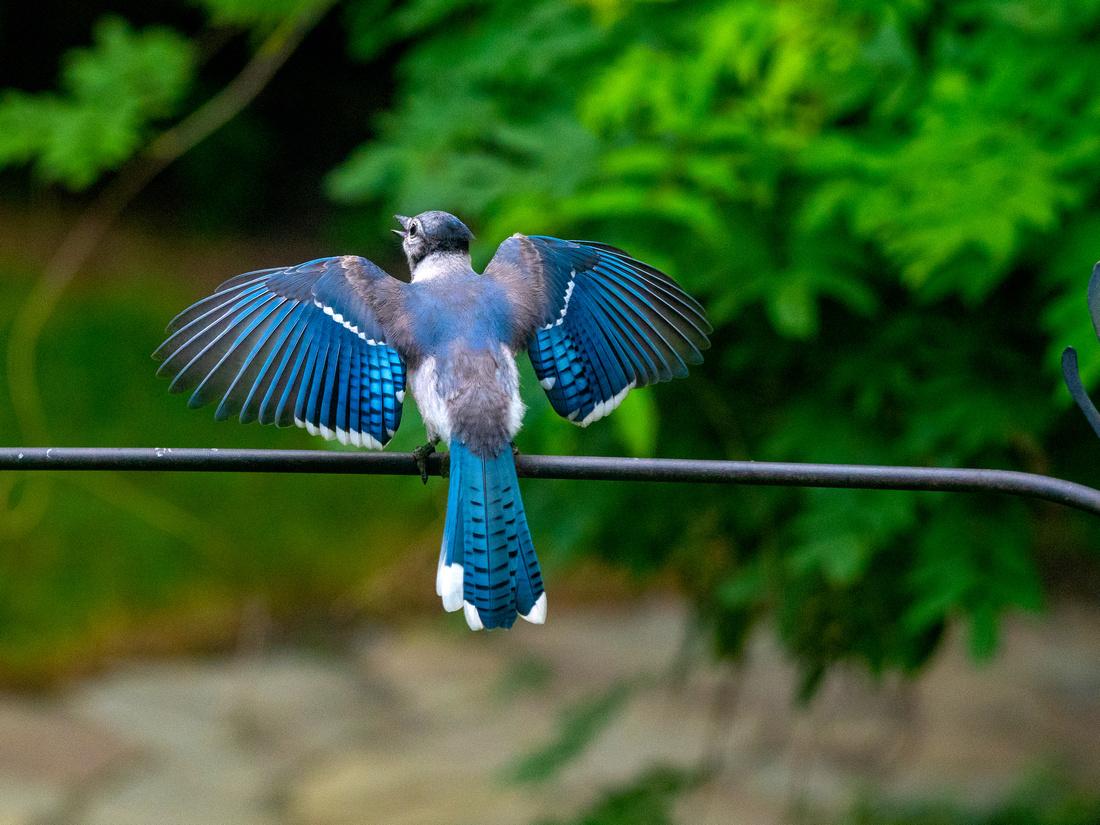 bluejay wing spread copy