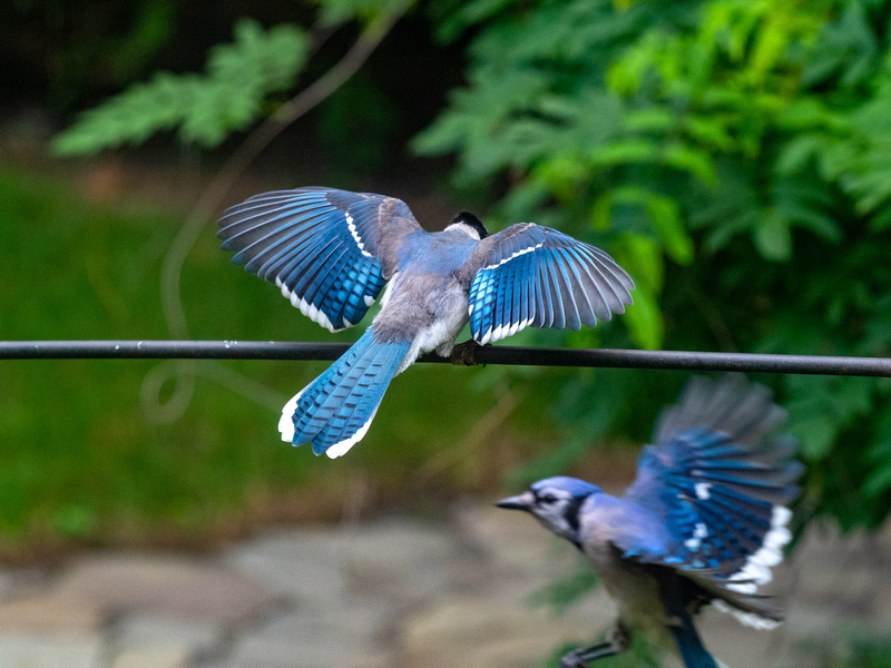 two winged bluejays
