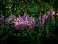 Astilbe on the Rise