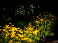 Rudbeckia in Sun and Shade