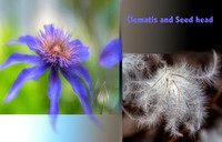 Clematis and Seedhead title
