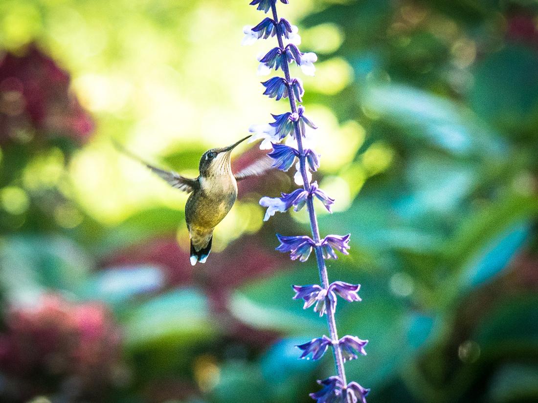 hummingbird 3 cabriole