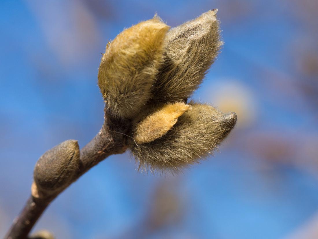 Star Magnolia buds