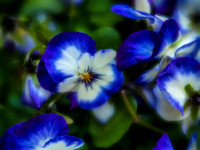 blue and white pansy