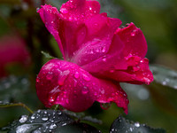 Rained on Roses