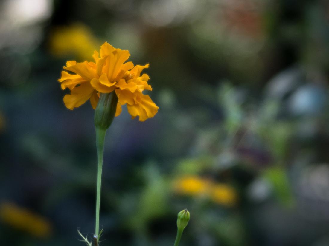 Single marigold