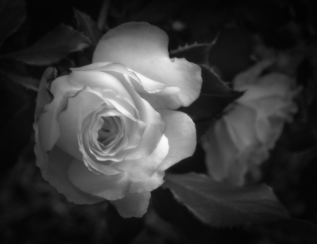 roses in bw