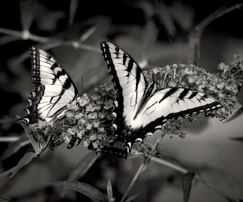 white butterflies copy