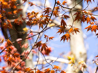 Maple Leafing