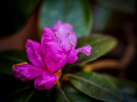 Rhododendron1